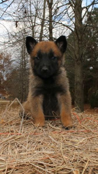 Ares and Athina Belgain Malinois puppy