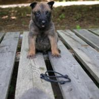 Belgian Malinois make wonderful additions to any home setting as seen with this adorable male Belgian Malinois puppy.