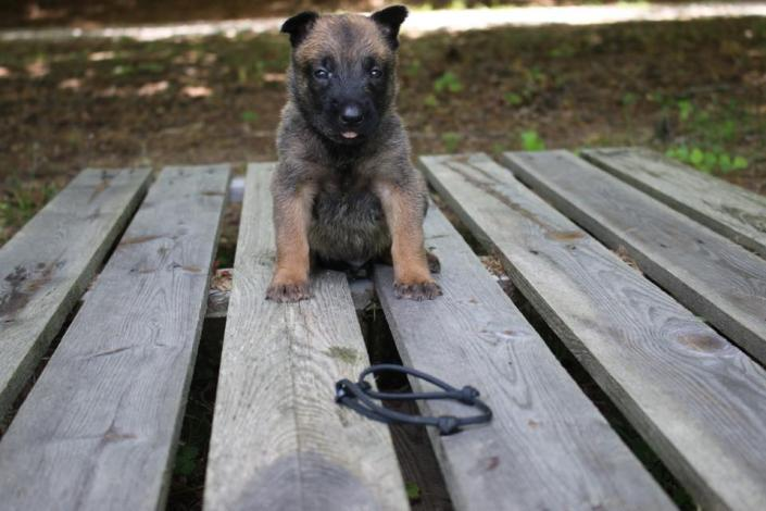 [Image: Belgian Malinois make wonderful additions to any home setting as seen with this adorable male Belgian Malinois puppy. ]