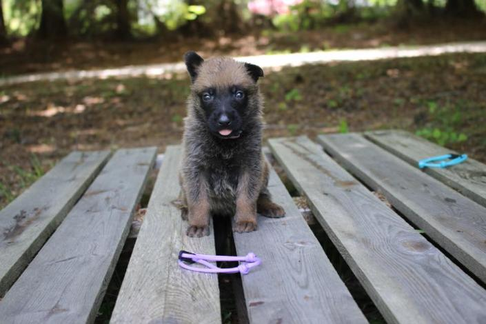 [Image: This female Belgian Malinois pup has a lighter brown coat with distinctive black markings. ]